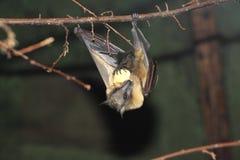 Straw-coloured fruit bat Royalty Free Stock Images