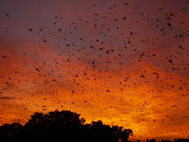 Bats at dawn. Straw-coloured fruit bats returning to their roost at dawn in Zambia Royalty Free Stock Photography