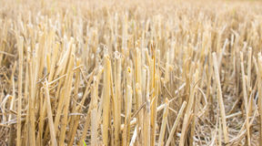 Straw in the countryside at harvest time. Stock Photography