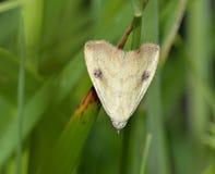 Straw Dot Moth Royalty Free Stock Image