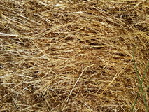 Straw. Dried out grass in a meadow Royalty Free Stock Images