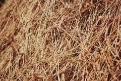 Straw, dry straw texture background, vintage style for design. Reeds texture. Straw surface. Thatch pack canvas. Straw pack texture. Stack of straw texture stock photography