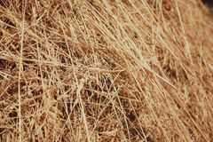 Straw, dry straw texture background, vintage style for design. Reeds texture. Straw surface. Thatch pack canvas. Straw pack texture. Stack of straw texture royalty free stock image