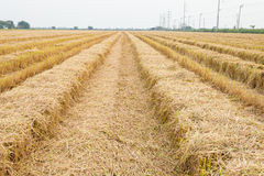 Straw field by product from rice field a Royalty Free Stock Photo