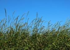 Straw Field vert avec le fond de ciel bleu Image stock