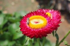 Straw Flower Fotografia Stock
