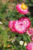 Straw Flower Fotografia Stock Libera da Diritti