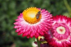 Straw Flower Imagen de archivo libre de regalías