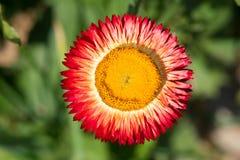 Straw Flower Lizenzfreie Stockfotos