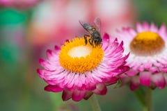 Straw Flower Imagen de archivo