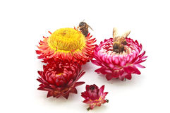 Straw flower and bee Royalty Free Stock Photo