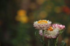 Straw Flower With Blurs Background de floraison images libres de droits