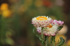 Straw Flower With Blurs Background frais photographie stock