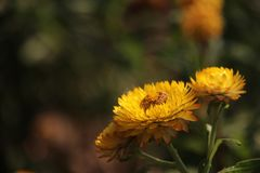 Straw Flower With Blurs Background jaune photos stock