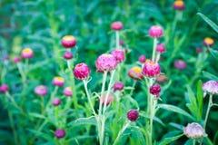 Straw flower (Everlasting) Stock Photos
