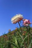 Straw flower, Everlasting Stock Photo