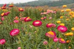 Straw flower or Everlasting Stock Photo