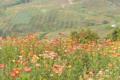 Straw flower or Everlasting Stock Images