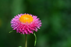 Straw flower or everlasting or paper daisy flower. And copy space for add text Royalty Free Stock Photo