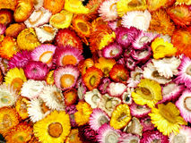 Straw flower or everlasting thailand Stock Photography