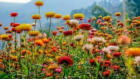 Straw flower field Royalty Free Stock Photo