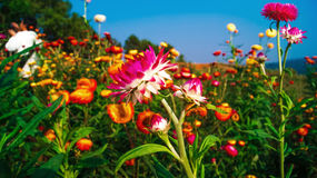 Straw flower field Stock Photography