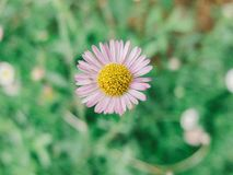 Straw flower. Flowers bloom in winter Royalty Free Stock Image