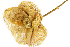 Straw flower isolated Stock Image