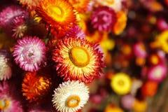 Free Straw Flower Or Everlasting Helichrysum Bracteatum Royalty Free Stock Photography - 148791077