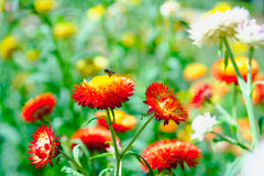 Free Straw Flower Or Everlasting Or Paper Daisy Flower In Garden Royalty Free Stock Photography - 85398107