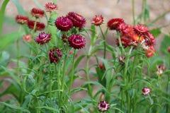 Straw Flowers Royalty-vrije Stock Afbeelding