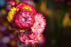 Straw Flowers. Closeup Straw flower, The genus Helichrysum Stock Photo