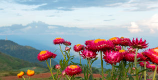 Straw Flowers Royalty-vrije Stock Foto