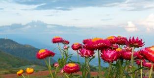 Straw flowers Royalty Free Stock Photo