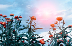 Straw flowers and sun Royalty Free Stock Images