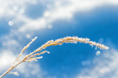 Straw frozen at winter. Straw with ice crystals frozen at winter against blue sky Stock Images
