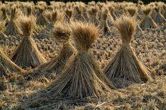 Straw, Grass Family, Hay, Grass Royalty Free Stock Images