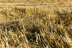 Straw after the harvest Royalty Free Stock Images