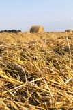 Straw harvesting. Golden dry wheat straw lying in piles and rows and some twisted into stacks, harvesting grains in summer stock images