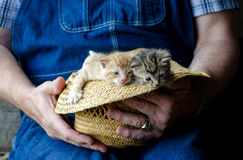 Straw Hat full of kittens Stock Photo