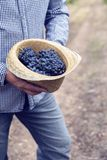 Straw Hat Grapes Clusters Syrah Harvest Stock Photography