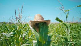 A straw hat is put on a corn stalk in a cornfield, a scarecrow in a field stock footage