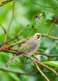 Straw-headed Bulbul Royalty Free Stock Photo