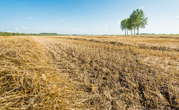 Straw on a large stubble field with trees Royalty Free Stock Image