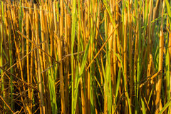 Straw on morning. Straw have dew on morning sun light Royalty Free Stock Image