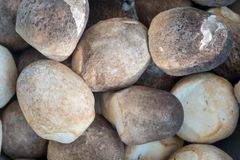 Straw Mushroom In Closeup Foto de Stock