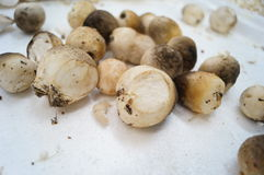 Straw mushroom Royalty Free Stock Photo