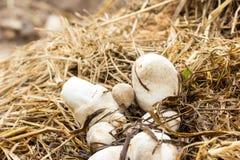 Straw mushroom Royalty Free Stock Photography