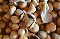 Straw mushrooms Royalty Free Stock Images