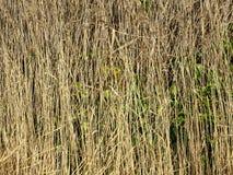 Straw In Nature Background alto Fotografia Stock Libera da Diritti